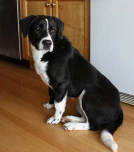 Labrador Border Collie Mix